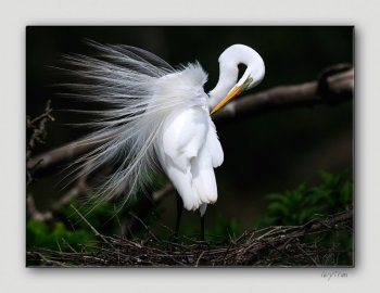 Great Egret by Quy Tran