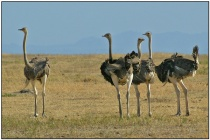 Common Ostrich (Struthio camelus) by Daves BirdingPix