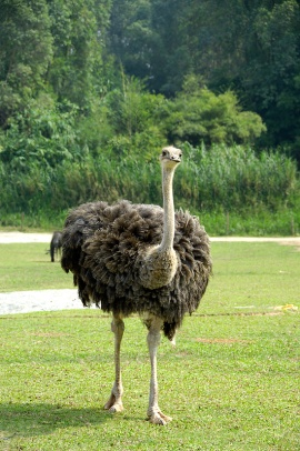 Somali Ostrich (Struthio molybdophanes) by P Kwong