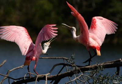 Roseate Spoonbill by Quy Tran