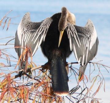Anhinga (Anhinga anhinga) Dryed at Lake Hollingsworth by Dan