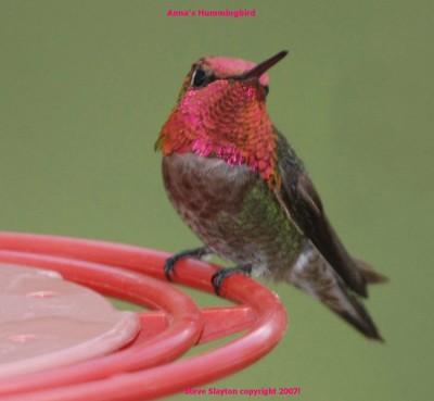 Anna's Hummingbird - The earth is the LORD's, and everything in it, the world and all who live in it. PSALM 24 verse 1