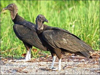 Black Vulture by Birdway (Ian)
