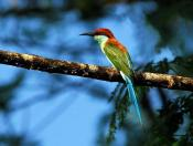 Blue-throated Bee-eater by