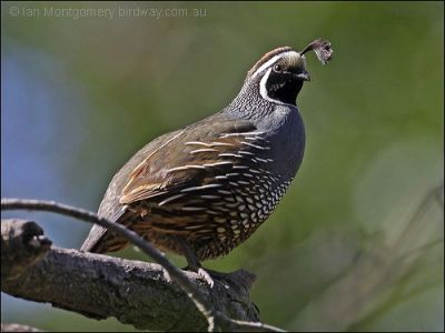 California Quail (Callipepla californica) by Ian