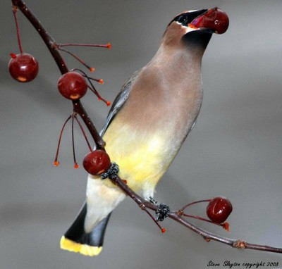 Cedar Waxwing Eating by Steve Slayton