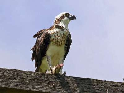 Eastern Osprey by Birdway