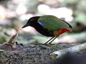 Rainbow Pitta-Australia-Birdway