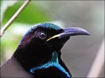 Paradise Riflebird-Australia-Birdway