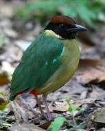 Noisy Pitta-Australia-Birdway