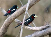 BlackAndRedBroadbill-Malaysia-Birdway