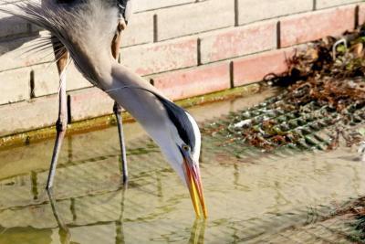 Great Blue Heron (Drinking) at Lake Morgan by Dan