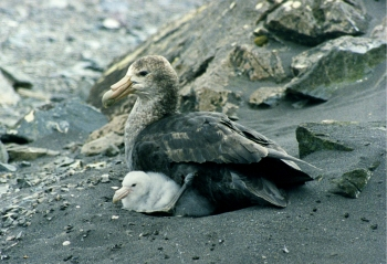 Giant Petrel with chicks