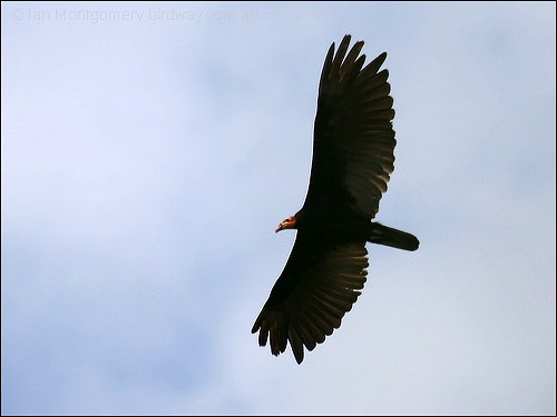 Greater Yellow-headed Vulture (Cathartes melambrotus) by Ian