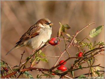 House Sparrow by Raymond Barlow
