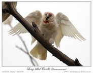 Long-billed Corella (Cacatua tenuirostris) by Ian