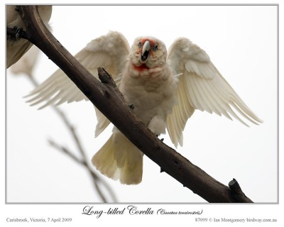 Long-billed Corella by Birdway (Australia)