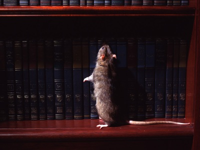 Rodent - Mouse