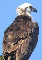 Western Osprey (Pandion haliaetus ridgwayi) ©Rutland Ospreys
