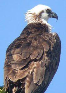 Osprey Ridgwayi from Rutland Ospreys