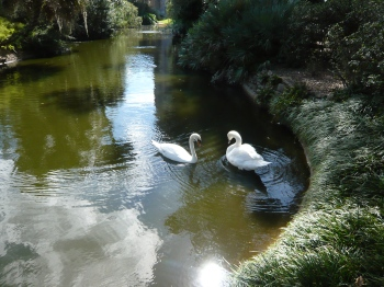 Swans at Bok Sanctuary