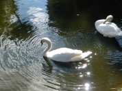 Swans at Bok Sanctuary by Dan