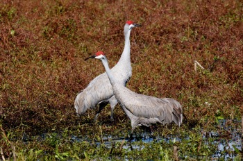 Pair of Sandhill Cranes by Mike Bader