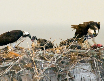 Osprey Family by Phillip Simmons
