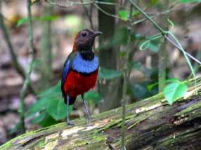 Philippine Pitta-Australia-Birdway