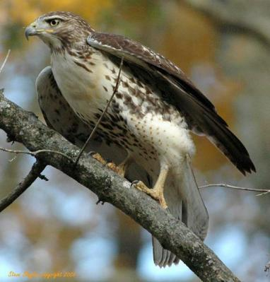 Red-tailed Hawk- Cochran Shoals Unit Chattahoochee River by SSlayton