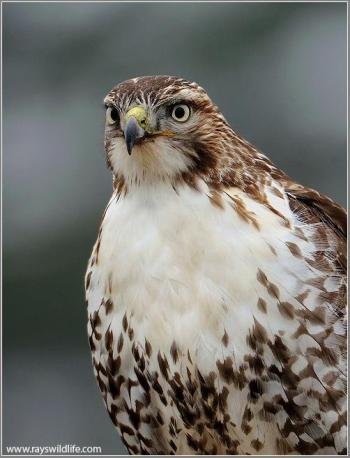 Red Sholdered Hawk by Ray