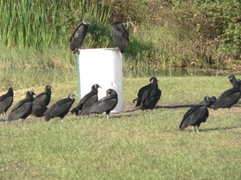 Black Vultures at Saddle Creek by Lee