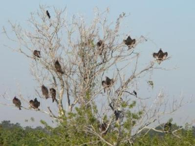 Turkey Vulture Tree at Saddle Creek by Lee