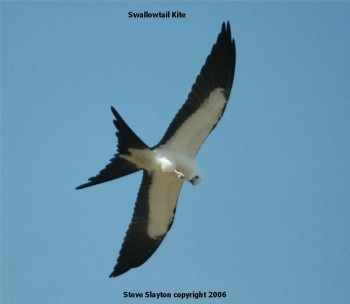 Swallow-tailed Kite by S Slayton