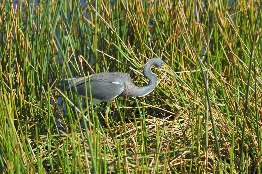 Tricolored Heron at Vierra Wetlands, Vierra, FL