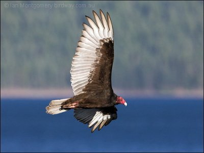 Turkey Vulture by Ian Montgomery