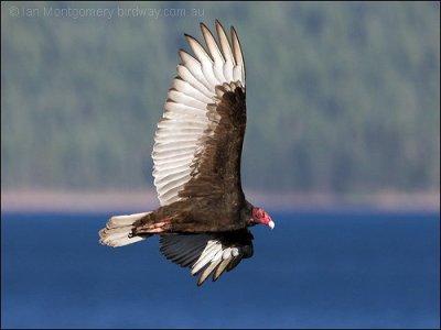 Turkey Vulture by Ian Montgomery
