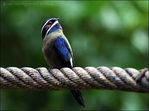 Whiskered Treeswift - Asian - Birdway