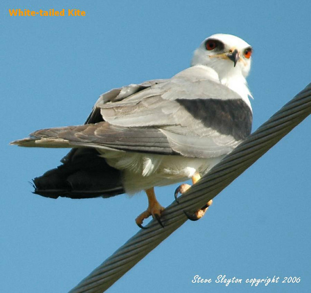 White-tailed Kite by SSlayton
