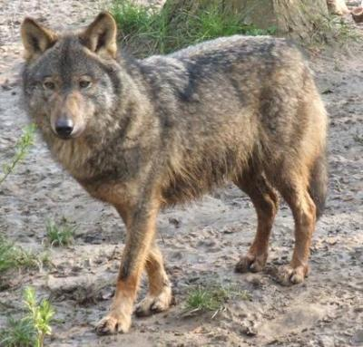 Wolf from Wikipedia