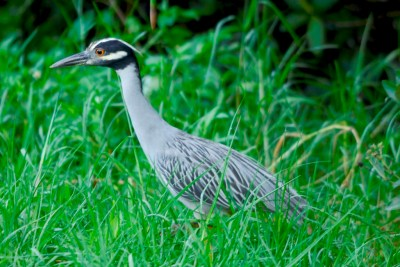 Yellow-crowned Night Heron (Nyctanassa violacea) by Dan