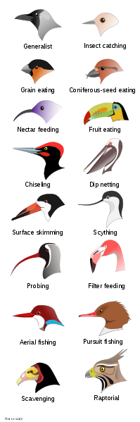 Bird Beaks from Wikipedia