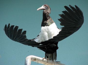 Abdimi Stork