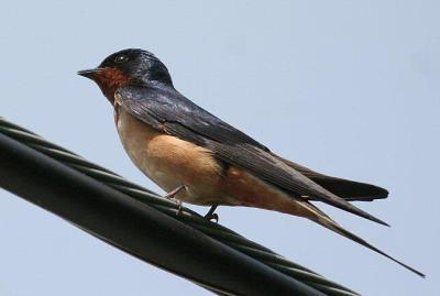 Barn Swallow (same)