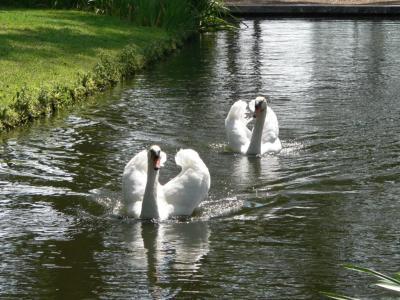 Swans at BokTower