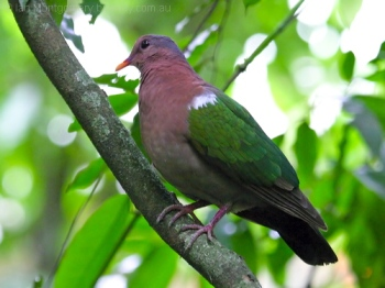 Common Emerald Dove (Chalcophaps indica) by Ian