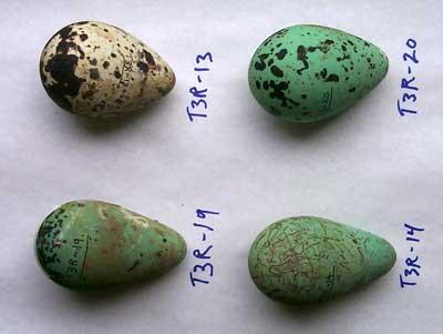 Guillemot Eggs