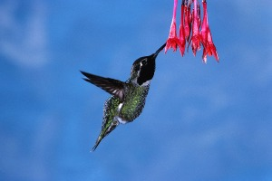 Hummingbird with beak in flower
