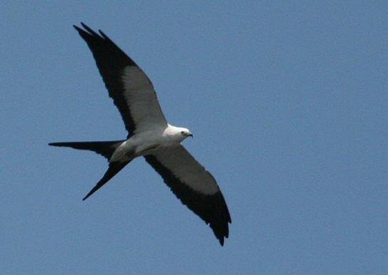 Swallow-tailed Kite (same)