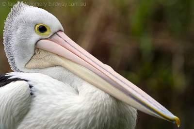Australian Pelican (Pelecanus conspicillatus) by Ian at Birdway